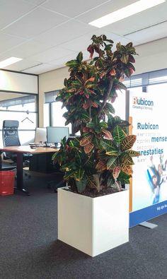 Croton \'Excellent\' 50/55 cm + cache pot Elho | House plants ...