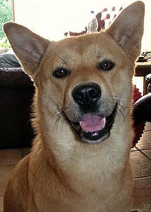 The Korean Jindo Dog (Hangul: 진돗개; hanja: 珍島狗) is a breed of hunting dog known to have originated on Jindo Island in South Korea. Brought to the United States with South Korean expatriates, it is celebrated in its native land for its fierce loyalty and brave nature. The Jindo breed became recognized by the United Kennel Club on January 1, 1998[1] and by the Fédération Cynologique Internationale in 2005.