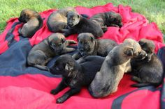 Japser on the far left.  german-shepherd-puppies-511-vom-banach-k9