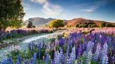 Richard Bloom was named International Garden Photographer of the Year for his images of a Mackenzie country scene, entitled 'Tekapo Lupins'.