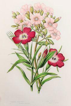 Anne Pratt Antique Botanical Print Pink by PaperPopinjay