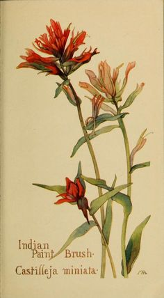 Indian Paint Brush - Margaret Armstrong - Field Book of Western Wild Flowers