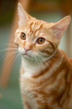 Pretty Cats, Beautiful Cats, Animals Beautiful, Cute Animals, Pretty Kitty, Orange Tabby Cats, Red Cat, Cute Cats And Kittens, Kittens Cutest
