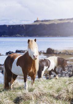 The incredible blue-eyed horses of Iceland - Iceland Monitor
