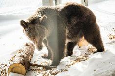Bär Jambolina Wild Animal Rescue, Paws Rescue, Natural Instinct, New Start, Big Challenge, Animal Welfare, Brown Bear, Cage, Bring It On
