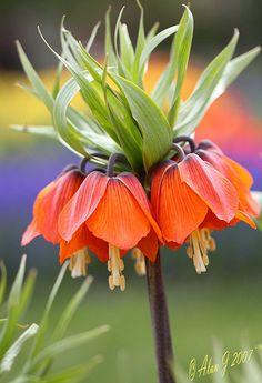 ~~ Fritillaria Crown Imperial ~~