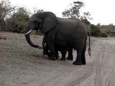 A Baby Elephant Scared Himself By Sneezing. It's One Of The Most Adorably Funny Clips I've Seen!