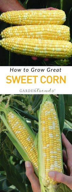 How to grow great sweet corn! When sweet corn season rolls around, customers look for the best eating quality at local roadside stands and farmers' markets. May and June are months for planting sweet corn seeds to meet the required conditions for growing.