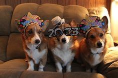 Corgi's sure know how to bring in the new year!