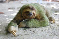 Los perezosos y las algas. Un estudio realizado en Finlandia demostró que los perezosos viven en simbiosis con las algas. Sobre su pelo crecen con frecuencia cianobacterias (Cyanoderma) y algas verdes (Trichophilus) dándoles una coloración verdosa que contribuye, junto a su lento movimiento, a pasar desapercibidos frente a los depredadores. Esto es debido a que su piel absorbe agua, a diferencia de la mayoría de los animales, creando un entorno ideal para el crecimiento de estos…