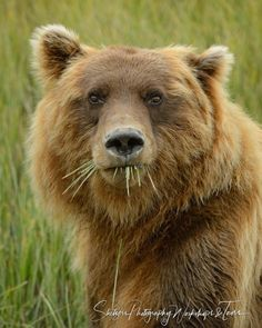 A close up portrait of a grizzly bear feeding on sedge in the valley Animals And Pets, Baby Animals, Funny Animals, Cute Animals, Baby Pandas, Wild Animals, Bear Pictures, Animal Pictures, Ours Grizzly