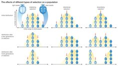 What Natural Selection REALLY Means: Three types of natural selection
