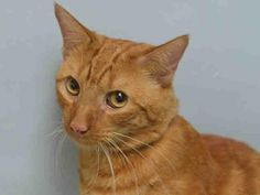 """EGYPT - A1092730 - - Brooklyn  ***TO BE DESTROYED 10/21/16***SUPER SWEET GINGERBREAD MAN SURRENDERED DUE TO """"PERSONAL PROBLEMS"""" NEEDS NEW FRIEND! Everyone knows orange boys are the most lovable and affectionate kitties around and our fab fella, Egypt is surely no exception to the rule. This handsome sweetheart was dumped by his owner due to a """"personal problem."""" He is used to living with kids and is just an all around good boy–friendly, playful"""