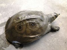 Indian peacock softshell turtle (Nilssonia hurum) is a species of turtle found in Nepal, India, Bangladesh and Pakistan. Types Of Pet Turtles, Different Types Of Turtles, Pet Turtle Care, Kawaii Turtle, Indian Peacock, Vulnerable Species, Tortoise Turtle, Turtle Love, Exotic Pets