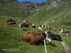 VAL CHISONE - ROURE Roreto - Parco Naturale Orsiera Rocciavré - cow a Selleries | par Mario Turcato