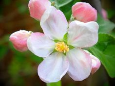 spring apple tree blossoms white pink petals