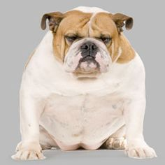 Lacey's Tips for Overweight and Obese Doggies