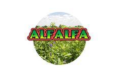 La alfalfa es conocida desde hace mucho tiempo, ya que los chinos utilizaban para combatir los trastornos digestivos. También fue utilizado en la India para promover la digestión, la retención de a…