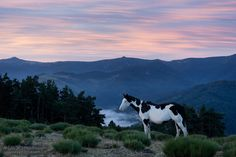 American Paint Horse mare.jpg - American Paint Horse mare in the mountains at sunrise