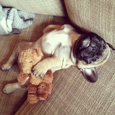 sleeping frenchie holding the teddy bear