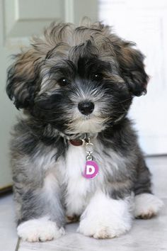 Havanese puppy - my sister-in-law just got one. Very sweet puppy :)