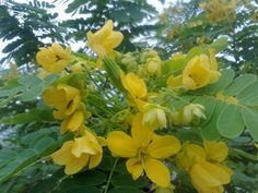 ทรงบาดาล (Senna surattensis (Burm.f.) H.S.Irwin & Barneby)