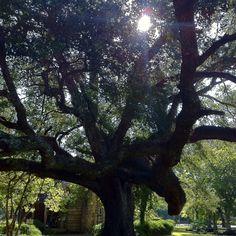 180-year old Live Oak Tree ~ Melrose Plantation, Natchitoches Louisiana
