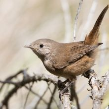 Chercán Cute Birds, Small Birds, Beautiful Birds, Nature, Medium, Illustration, Decor, Cute Pictures, Gardens