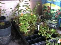 Transplanting Rooted Cuttings - YouTube
