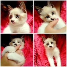 *. *. 母さんのド派手なパジャマにin *. 母さんが無理矢理入れたよ 母さん、キツイよ 母さん、暑いよ 母さん、ぼくさっき💩したよ *. いらんことばっかりするから、パーカーにinして茶碗洗ったりしてました笑 もう暖かすぎてハマる😂😂😂 いい湯たんぽ発見したわ🙌🙌🙌 *. *. #猫 #愛猫 #白猫 #シャム猫 #青い目 #青い目の猫 #青眼 #blueeyes #鍵猫 #鍵しっぽ #猫が好き #ねこすたぐらむ #ネコスタグラム #cat #catstagram #パーカーイン #無理矢理 #暖かい #天然湯たんぽ #ずっと1人で遊んでる #1匹か #見てて飽きない #生後2ヶ月 #鹿児島 #鹿屋