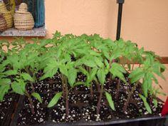 Semillero de tomates. Autor de la foto desconocido.  Saludos. Durante la edición de hoy estaremos aprendiendo como cultivar tomates en nue...