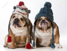 35221097-two-dogs-dressed-for-winter-english-bulldogs-wearing-winter-hats-Stock-Photo.jpg (1300×1008)