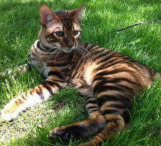 Image result for bengal cat size comparison Bengal cat