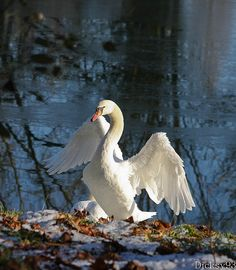 Even though i don't like birds- Swans are pretty.