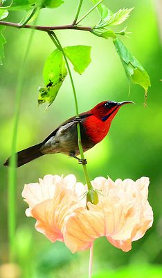crimson sunbird ~ native to tropical southern Asia from India to Indonesia and the Philippines