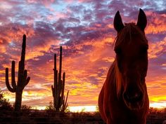 Such a typical Arizona sunset with cactus and horse in the background. Sunset Photography, Equine Photography, Animal Photography, Landscape Photography, Cowgirl And Horse, Horse Love, Nature Animals, Farm Animals, Horse Pictures