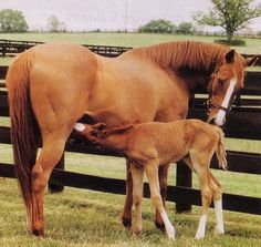 1980 Kentucky Derby winner GENUINE RISK at the age of 16 with her first foal GENUINE REWARD at Three Chimneys's Farm. When Genuine Risk was first retired she was bred to Secretariat, it was the first time that two Kentucky Derby winners had ever mated. Unfortunately, the foal was stillborn, this happened over again for years. She was unable to produce a live foal until May 15, 1993 when she delivered a son by Rahy. It was a happy miracle and they named him Genuine Reward. Three years late...