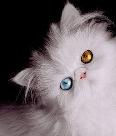 White persian beautiful eyes