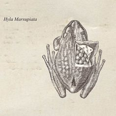 Marsupial Frog Print from a Vintage Drawing by TheCuratorsPrints, $16.00