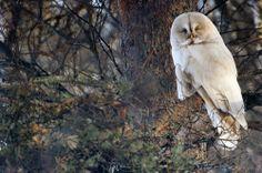 Albino Great Grey Owl