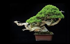 This HD wallpaper is about Tree Bonsai Tree Black HD, green bonsai plant, nature, Original wallpaper dimensions is file size is Bonsai Tree Care, Bonsai Tree Types, Bonsai Plants, Bonsai Garden, Bonsai Trees, Japanese Bonsai Tree, Popular Tree, Plantas Bonsai, Nature Hd