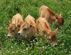 Raise Small-breed Milk Cows If you want fresh milk and cows that are easier for beginners to handle, these small breeds of cattle are just the right size for a homestead. I lol'ed at imagining owning some mini cows and letting my little corgi herd them. Mini Cows, Mini Farm, Cow Food, Farm Animals, Cute Animals, Nature Animals, Amazing Animals, Future Farms, Sustainable Farming