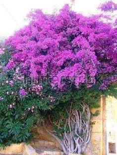 Small Garden Arbour, Bougainvillea Tree, Climbing Flowers, Persian Garden, Pinterest Garden, Parcs, Tropical Garden, Garden Inspiration, Trees To Plant