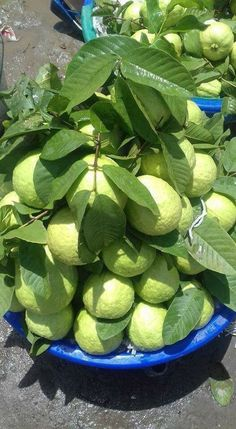 ✍️✍️ ___ Hi friends These fruits are very tasty and delicious in your area Please comment ✍️✍️ ___ Guava Fruit, Mango Fruit, Fruit And Veg, Fruits And Veggies, Fresh Fruit, Vegetables, Fruit Food, Veg Garden, Fruit Garden