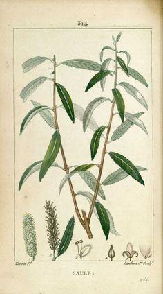 img/dessins-gravures de plantes medicinales/saule, saule blanc.jpg