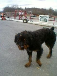 SPROCKET (sweetheart..needs love & TLC) BECKLEY, WV...Meet Sprocket a Petfinder adoptable Rottweiler Dog | Beckley, WV | **NOT ON PET FINDER AWAITING FURTHER INFO***