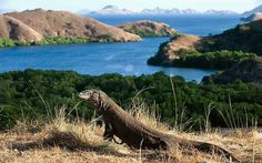 A Komodo dragon at the Komodo National Park, Flores, Indonesia.