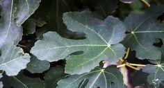 Varise incir yaprağı çözümü
