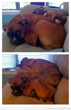 Full Grown Boxer Puppy Still Uses Mom As A Mattress