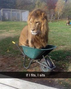 Last week, Obi was found in an unusual spot: a wheelbarrow. This Lion Got Into A Wheelbarrow At A Zoo And It Was Pretty Whimsical Funny Animal Memes, Cute Funny Animals, Funny Animal Pictures, Cat Memes, Cute Cats, Funny Cats, Funny Memes, Random Pictures, Funny Lion